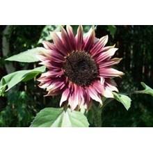 Benih Bunga Tanaman Hias Matahari Ruby Eclipse Sunflower Pink Rare