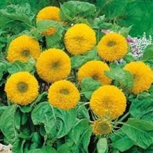 Benih Bunga Tanaman Hias Matahari Teddy Bear Bunga Gembul Bola Imut Double Bloom