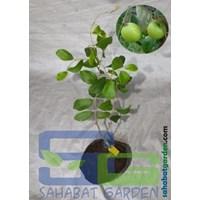 Bibit Apel India Sahabat Garden