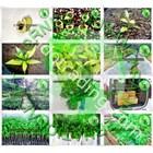Jual Bibit Gaharu (Agarwood) Aquilaria Malaccensis Kalimantan