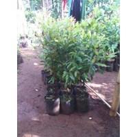 Jual Bibit Cengkeh (Syzygium Aromaticum)
