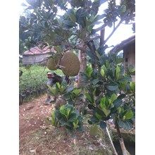 Bibit Nangka Mini ( (Artocarpus Heterophyllus)