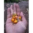 Jual Benih Gaharu (Auqilaria Malaccensis)