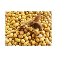 Kacang Kedelai