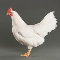 Ayam Ternak