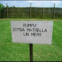 Rumput Zoysia Matrella Lin Merr