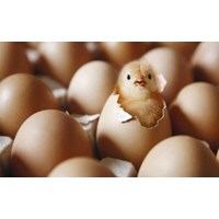 Alat Mesin Penetas Telur
