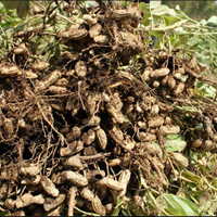 Kacang Tanah Basah 1