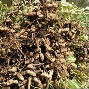 Kacang Tanah Basah