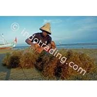 Sell Rumput Laut