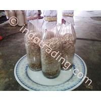 Seedlings F3 Ear Mushrooms