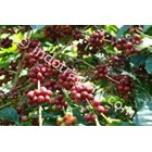 Civet Coffee Arabica Lintong 5