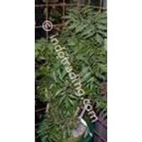 Sell Tanaman Hias Polyscias Fruiticosa
