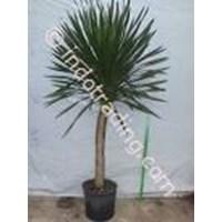 Sell Tanaman Hias Dracaena Arborea