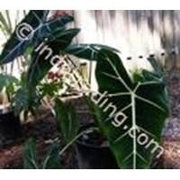 Sell Tanaman Hias Alocasia Micholitziana