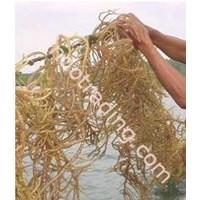 Jual Rumput Laut