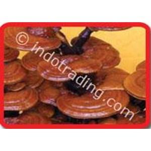 Export Mushroom Indonesia