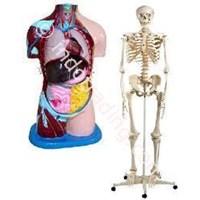 Buy Skeleton Torso Fiber 4