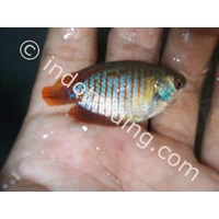 Buy Live Tropical Fish Wholesale 4