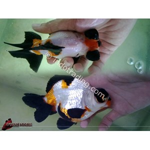 Export Live Tropical Fish Wholesale Indonesia