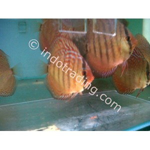 Export live tropical fish wholesale from indonesia by toko for Wholesale tropical fish
