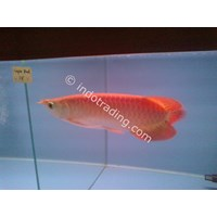 Buy Live Tropical Fish Wholesale Supplier Indonesia 4