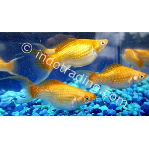 Export Lndonesian Tropical Fish Wholesale Indonesia