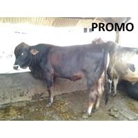 Distributor Sapi PO 410kg - 420kg 3