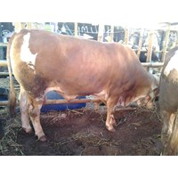Jual Sapi Super 700kg
