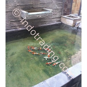 Sell koi pond from indonesia by ud jaya aquatic surabaya for Koi pond price