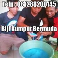 Jual BIBIT BIJI BENIH RUMPUT - BERMUDA - ZOYSIA GRASS SEEED