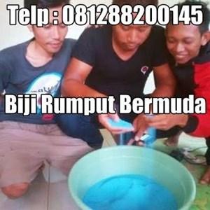BIBIT BIJI BENIH RUMPUT - BERMUDA - ZOYSIA GRASS SEEED