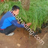 Distributor Rumput Vetiver ( Rumput Akar Wangi ) 3
