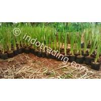 Jual Rumput Vetiver Pencegah Longsor Tanah 2