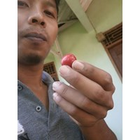 Jual Bibit Cherry Unggul 2