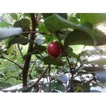 Bibit Cherry Unggul