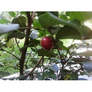 Bibit Cherry Unggul