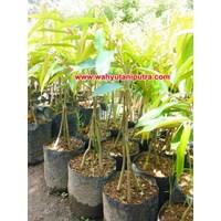 Jual Bibit Durian Musang King Berkaki 3 2