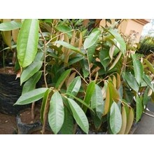 Bibit Durian Gundul Unggul