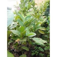 Guava Fruit Seeds Pearl Crystal Excellence 1