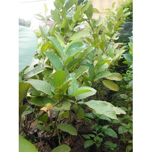 Guava Fruit Seeds Pearl Crystal Excellence