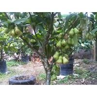 Bibit Buah - Bibit Jambu Deli (Supergreen)