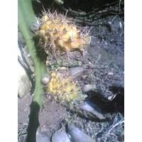 Beli Bibit Buah Naga Kuning Grifting 4