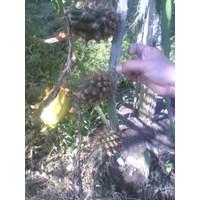 Distributor Bibit Buah Naga Kuning Grifting 3