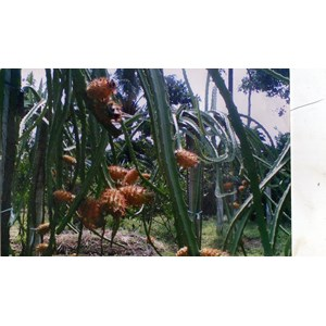 Image Result For Buah Naga Kuning