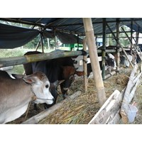 Distributor Sapi Daging 3