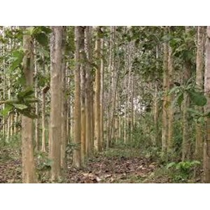 Pohon Jati Super