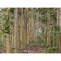 Jual Pohon Jati Diameter 40Up 2