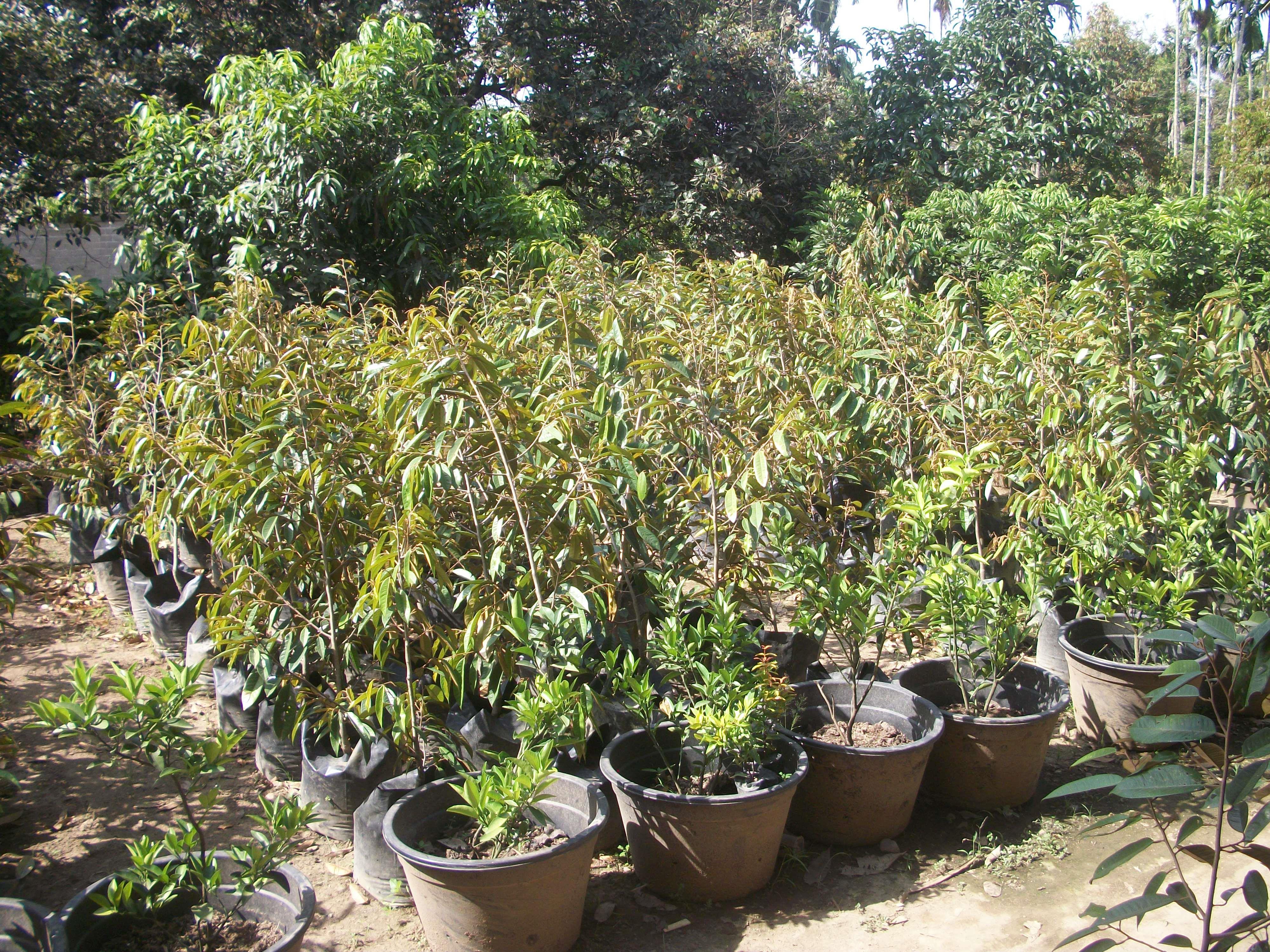 Harga Jual Daftar Harga Bibit Bambu