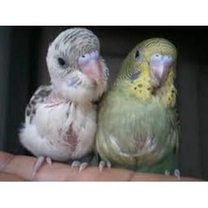 Anakan Burung Parkit